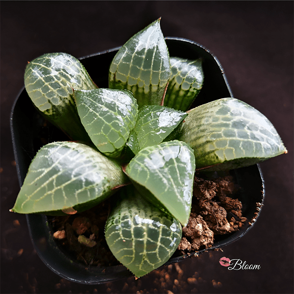 Haworthia Glass Compto