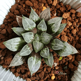Haworthia Love Hearts