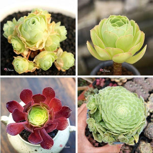 AEONIUM SUCCULENTS BUNDLE DEAL