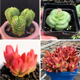 CRASSULA BUNDLE DEAL