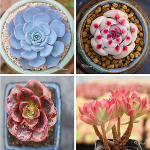 ECHEVERIA BUNDLE DEAL A