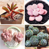 RARE SUCCULENTS SPECIAL DEAL A