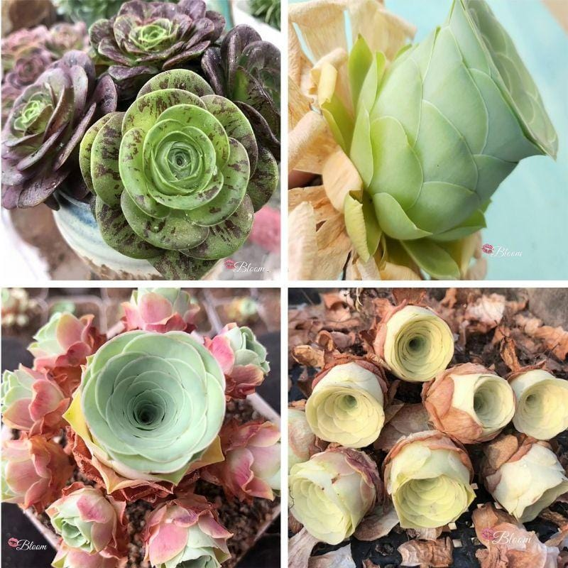 ROSE SUCCULENTS BUNDLE DEAL B