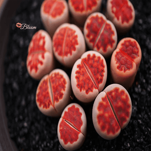 Lithops Karasmontana 'Top Red'