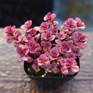 Sedum Spurium Cv.'Dragon's Blood