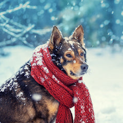 3 Tips for Keeping Your Handicapped Pet Safe in Winter