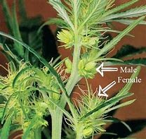 male hemp plants have pollen sacks and must be uprooted from a crop if growing for CBD