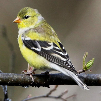 The Late Blooming Summer Breeder: The American Goldfinch