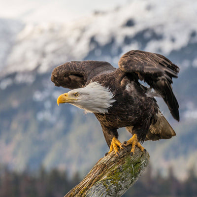 Bald Eagle Facts and Trivia
