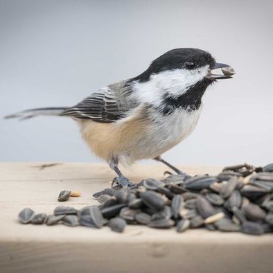 Attracting Black-Capped Chickadees