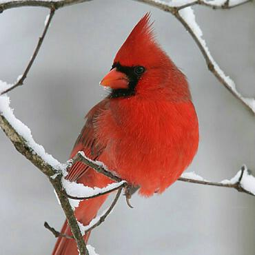 8 Tips to Attract Cardinals to Your Backyard