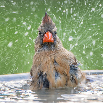 How Do Birds Beat the Heat?