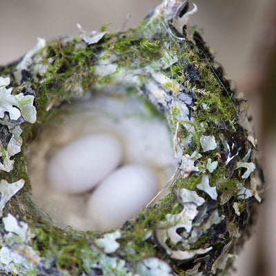 All About Hummingbird Nests