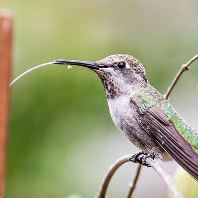 How Do Hummingbirds Eat?
