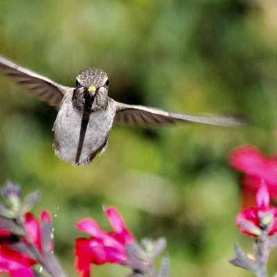 Farewell Hummingbirds – Migration Has Begun!