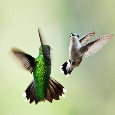 The Dazzling Courtship Dance of the Hummingbird
