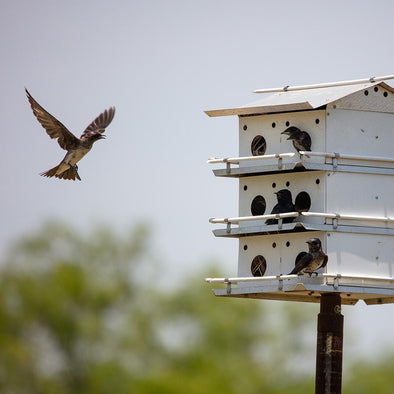 Apartments for Birds: How to House Purple Martins