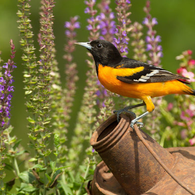 How to Attract Orioles