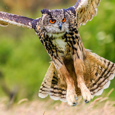 How Owls Hunt — Anatomy of an Apex Predator