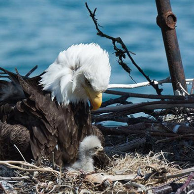 Life Cycle of the Bald Eagle: The Story of Eddie and Martin