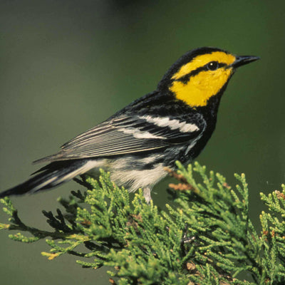 Warblers to Watch for in Winter