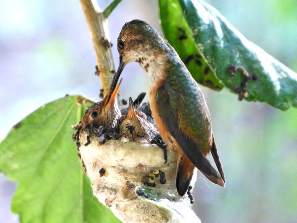 A mother hummingbird feeding her three babies in their nest.