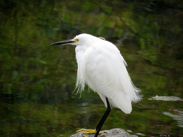 Snowy Egret standing on a rock alongside a water source.