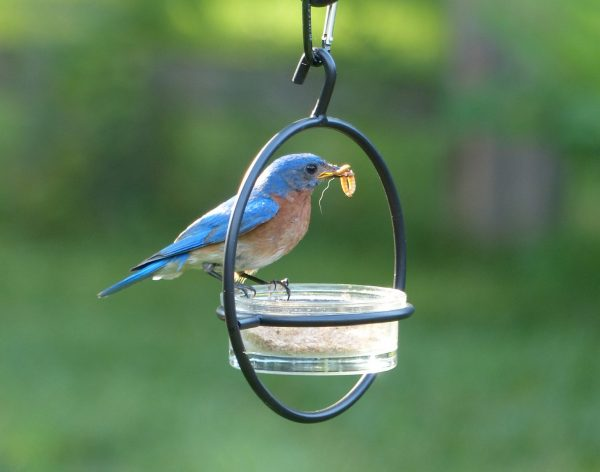 Bluebird perched on a feeder with a mealworm in its mouth