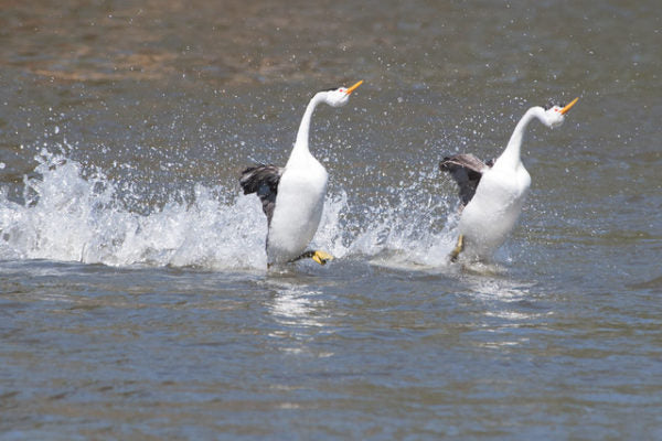 large white birds running on water