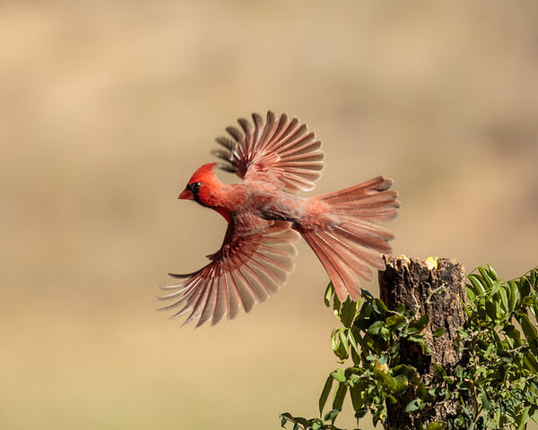 Red bird flying