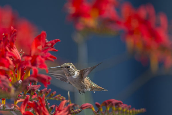 A hummingbird feeding from red flowers.