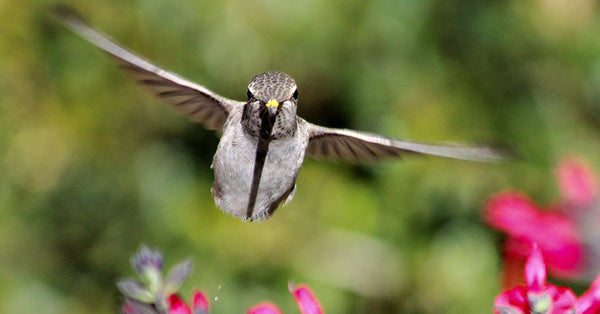 Hummingbird flying head-on with pink flowers behind it