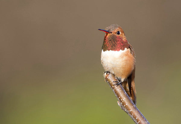 A Rufous Hummingbird perched on a tree branch.