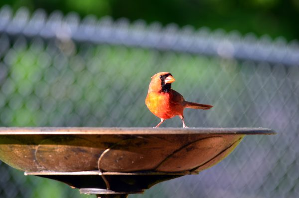 Male Northern Cardinal perched on a birdbath