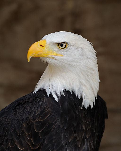 Close-up of a Bald Eagle.