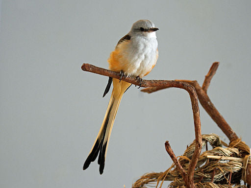 Scissor-tailed Flycatcher perched on a stick.