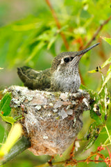 A hummingbird resting in its nest.