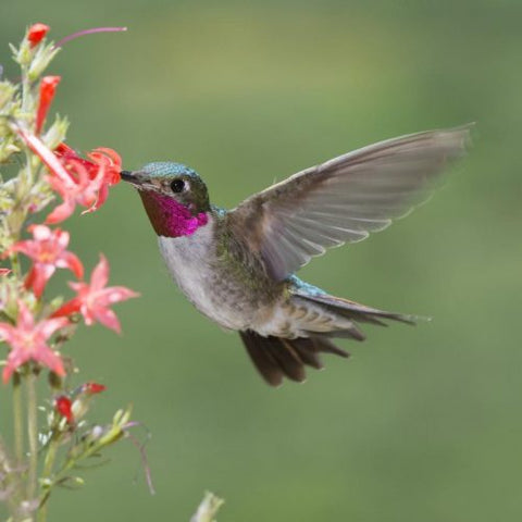 Flying Broad-tailed Hummingbird feeding on nectar from a flower