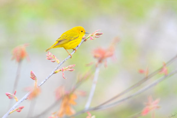A Yellow Warbler on a flower branch.