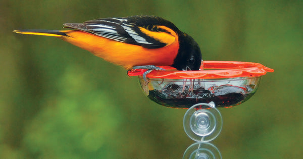 Baltimore oriole enjoying a dish of jelly from a Droll Yankees window feeder