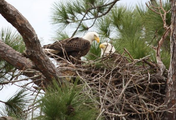 Two Bald Eagles perched in a nest high up in the trees.