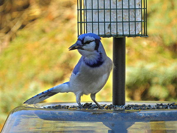 Blue Jay eating seed from seed tray