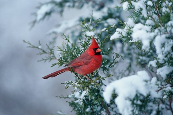 Male cardinal on pine branch in winter