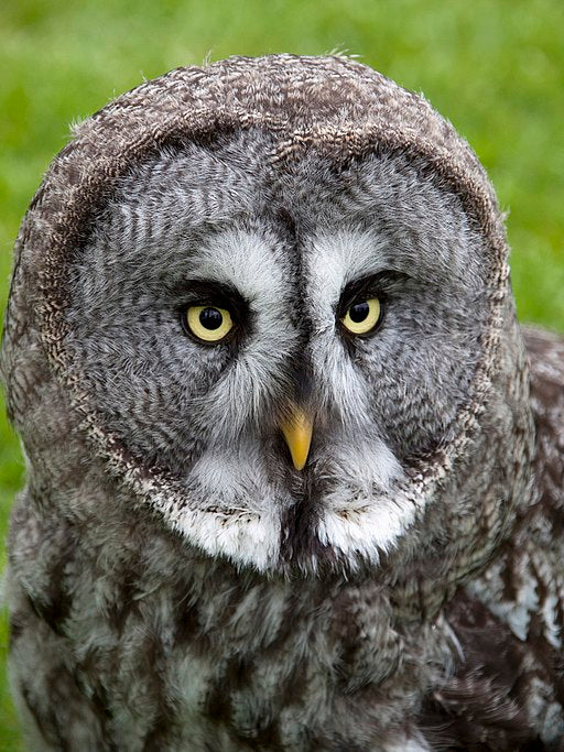 Close-up of a Great Grey Owl facing the camera.