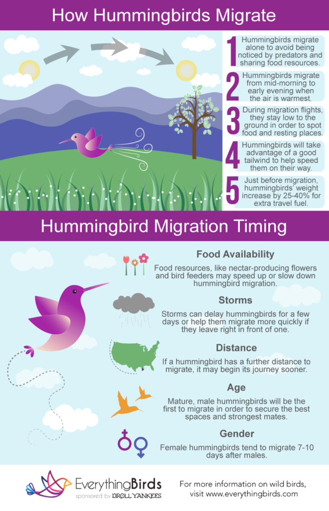 An infographic that shows how and when hummingbirds migrate.