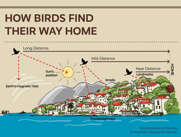 infographic on how birds find their way home