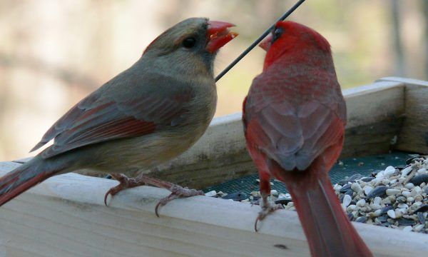 Male and female Northern Cardinal pair eating together at a feeder