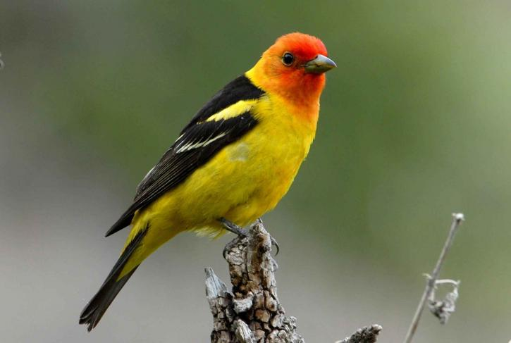 Western Tanager perched on top of a stick.