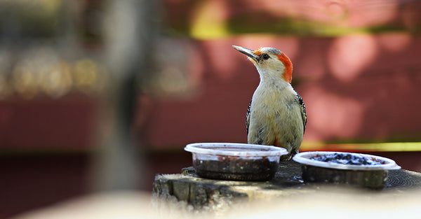 Red-bellied woodpecker eating jelly