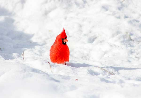 Northern Cardinal in the snow.